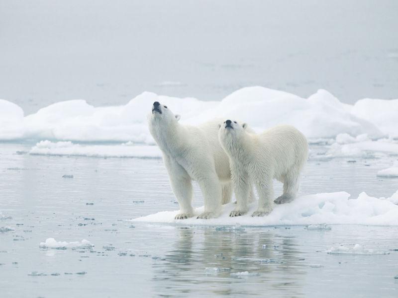female polar bear and cub on polar ice